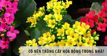 Có nên trồng cây hoa bỏng trong nhà?