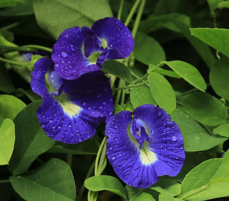 Hoa đậu biếc thích hợp trồng bờ rào, ban công