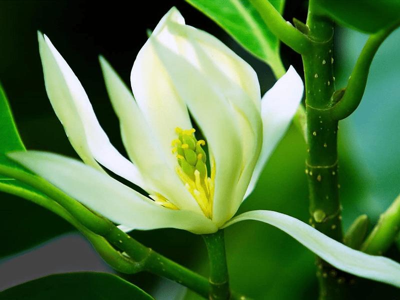 Loài ngọc lan trắng đẹp tinh khiết